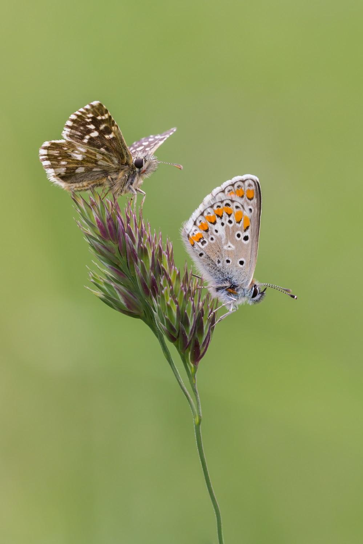Aardbeivlinder (boven) en Bruin blauwtje (onder) gemaakt in de Viroinval door Leo Deknatel