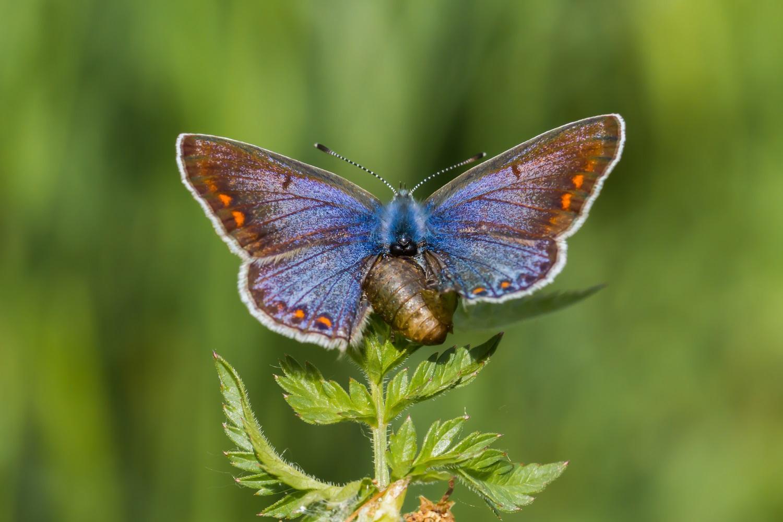Icarusblauwtje, Blauwe vlinders, Blauwtjes