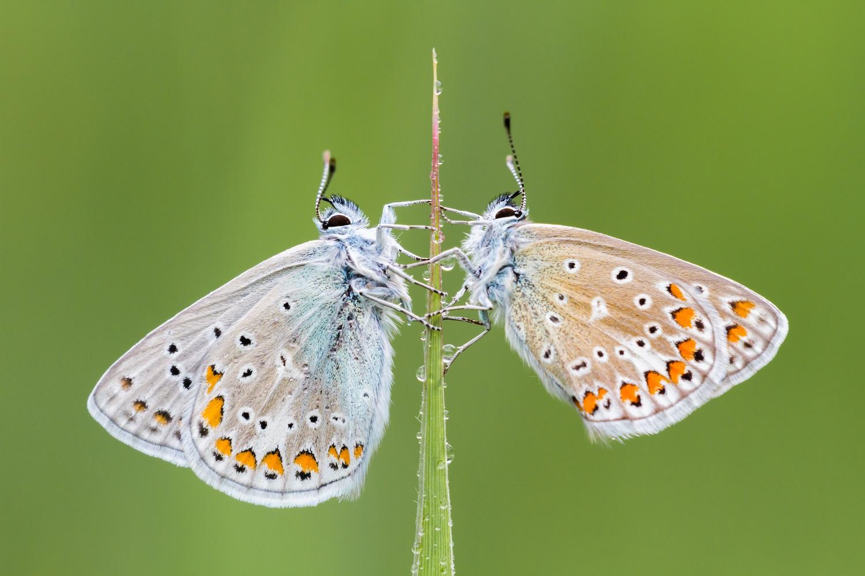 Icarucblauwtje, wokshop Vlinders fotograferen, Vlinderfotografie