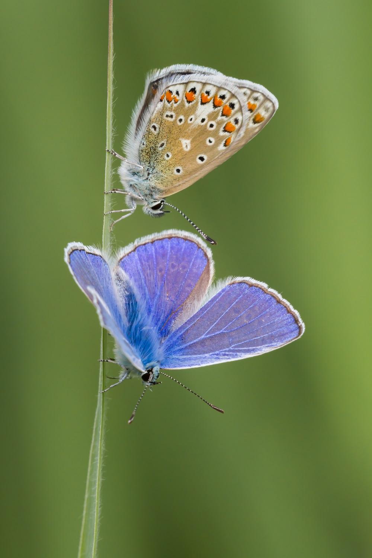 Icarusblauwtje, vlinder, vlinders