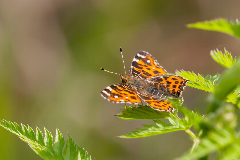 Leo Deknatel, Landkaartje, Vlinderfotografie, Vlinders fotograferen, Deknatelfotografie