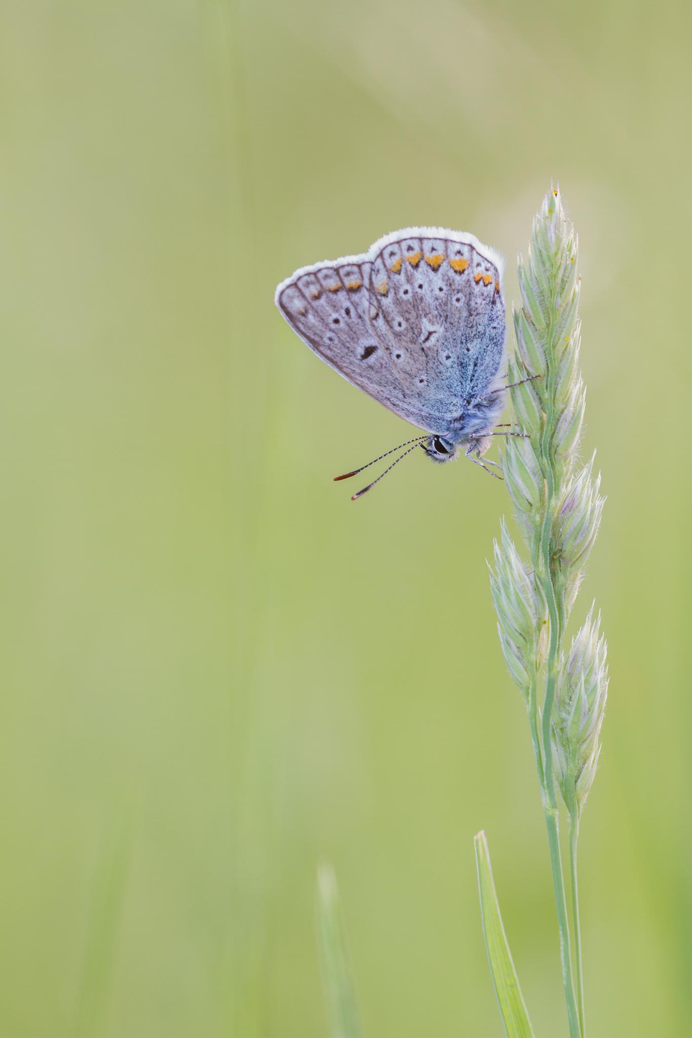 Vlinderfotografie, Vlindersfotograferen, Icarusblauwtje