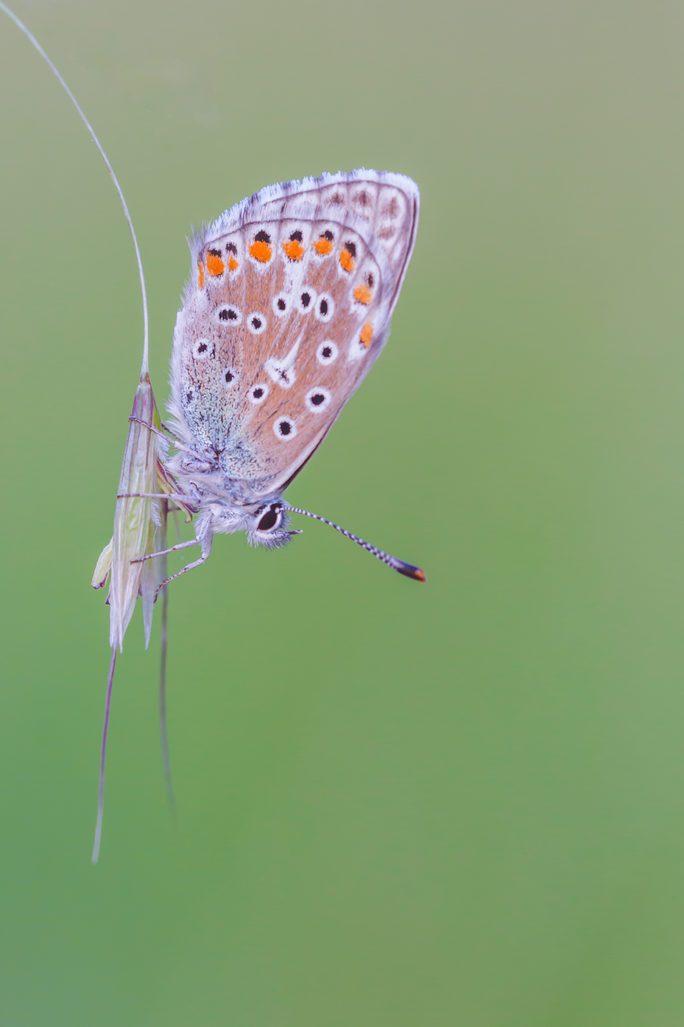 Oranjetipje, Vlinder, Vlinders, Butterflies, Butterfly, Vlinders fotograferen, Vlinderfotografie, Macro, Macrofotografie, Natuurfotografie, Deknatel, Leo Deknatel, Deknatelfotografie