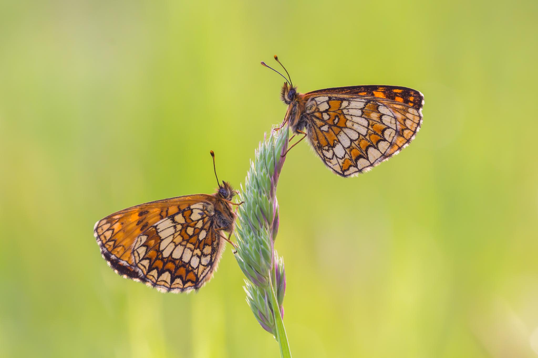 Bosparelmoervlinder, vlinder, vlinders, Viroinval, Leo Deknatel