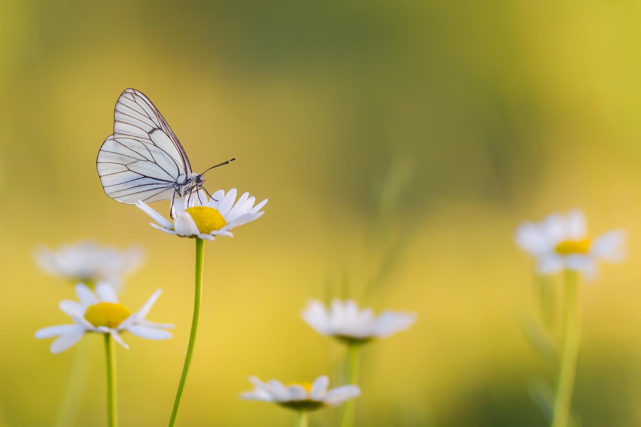 Groot geaderd witje, zon, tegenlicht, vlinder, vlinders, Viroinval, Leo Deknatel