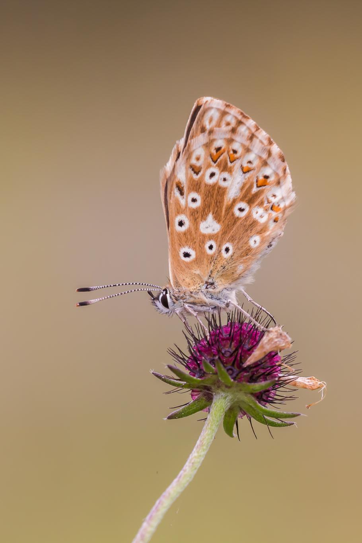 Bleek blauwtje, Blauwtje, Vlinder, Vlinders, Vlinders fotograferen, Vlinderfotografie, Natuurfotografie, Insect, Insecten, Deknatel, Leo Deknatel, Deknatelfotografie