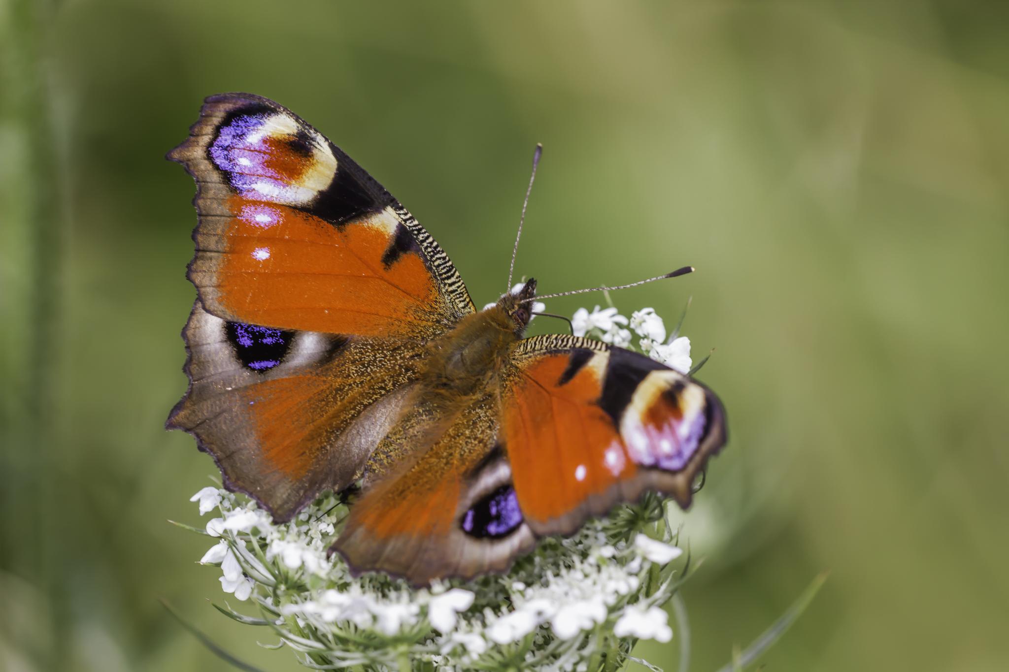 Dagpauwoog, Vlinder, Vlinders, Insect, Insecten, Vlinderfotografie, Vlinders fotograferen, Leo Deknatel, Deknatelfotografie