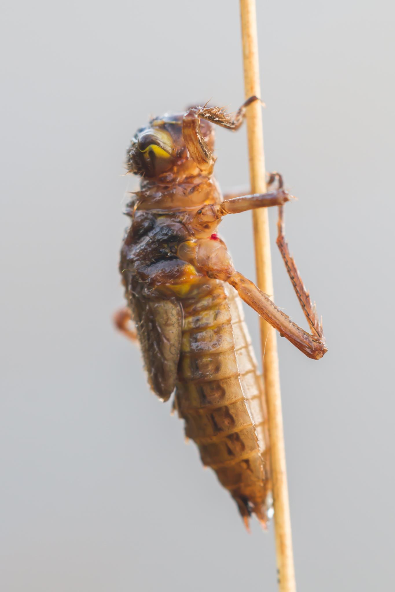Libellen, larve, Libellenlarve, viervlek, Leersumseveld, Leo Deknatel