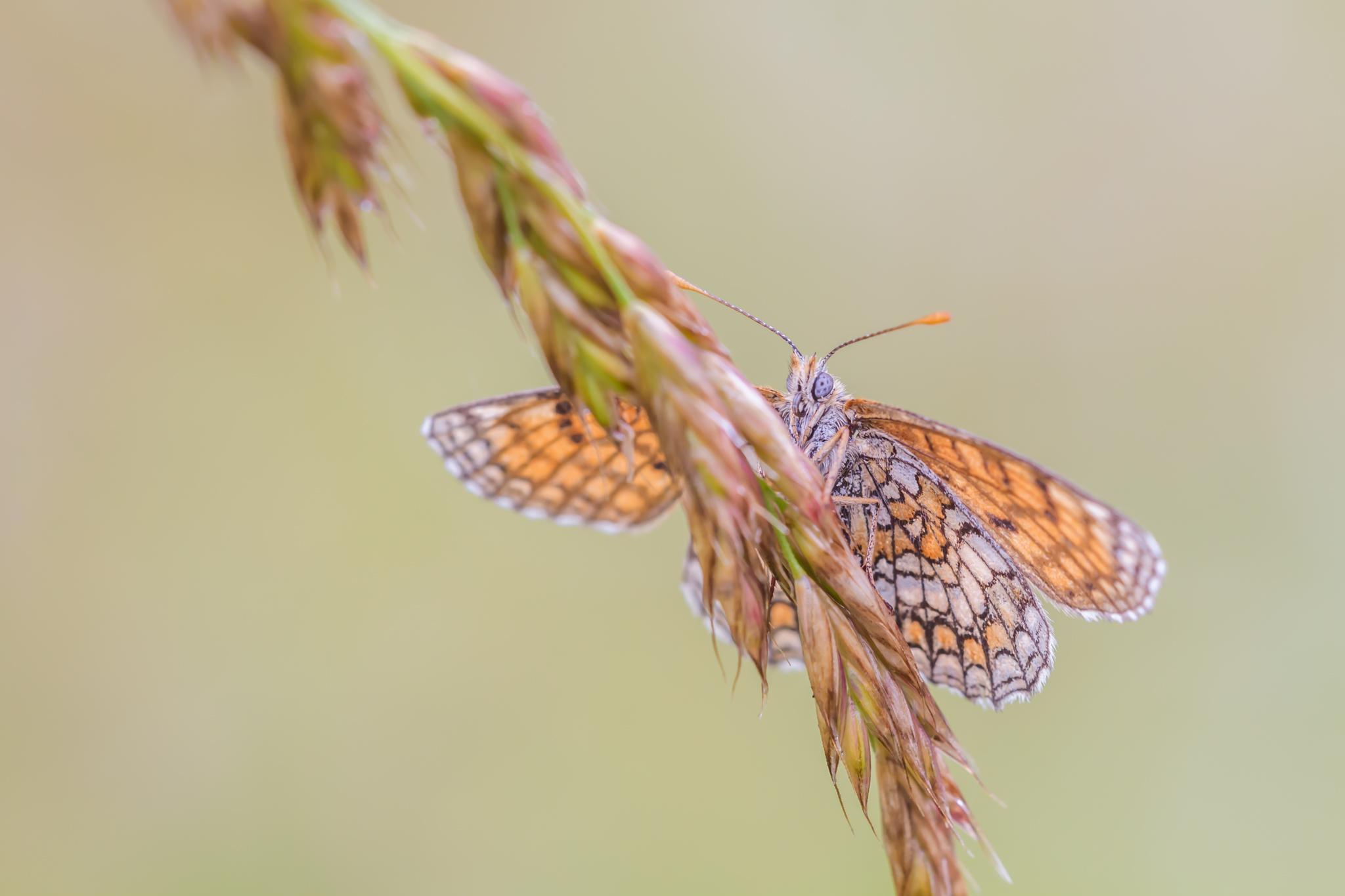 Bosparelmoervlinder gemaakt in de omgeving van Linge (Frankrijk) door Leo Deknatel