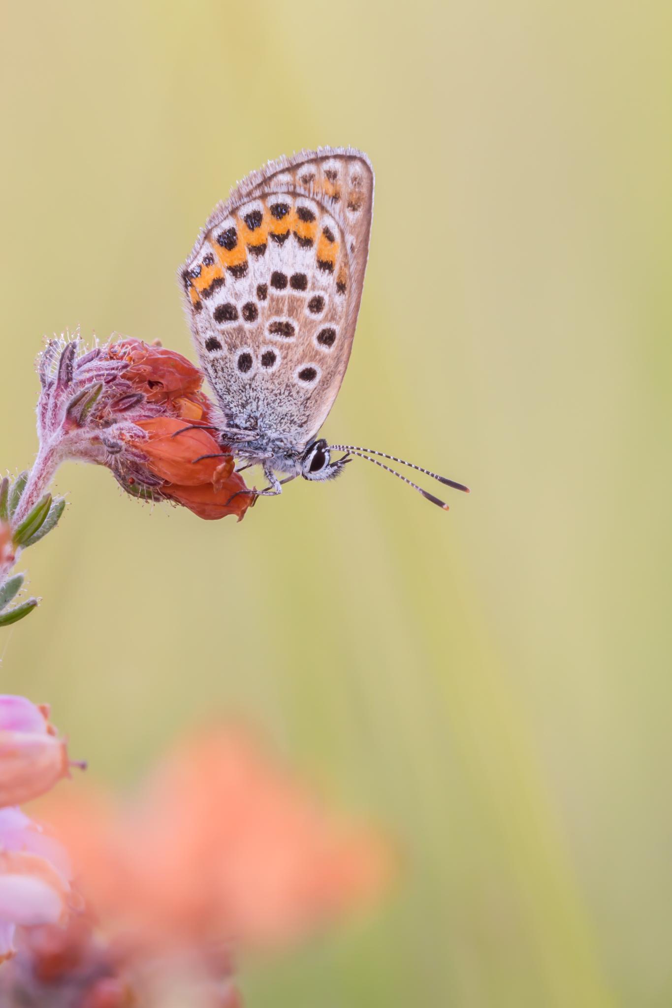 Heideblauwtje, Heide, Blauwtje, Vlinder, Vlinders, Insect, Insecten, Dopheide, Fotografie, Natuurfotografie, Macro, Macrofotografie