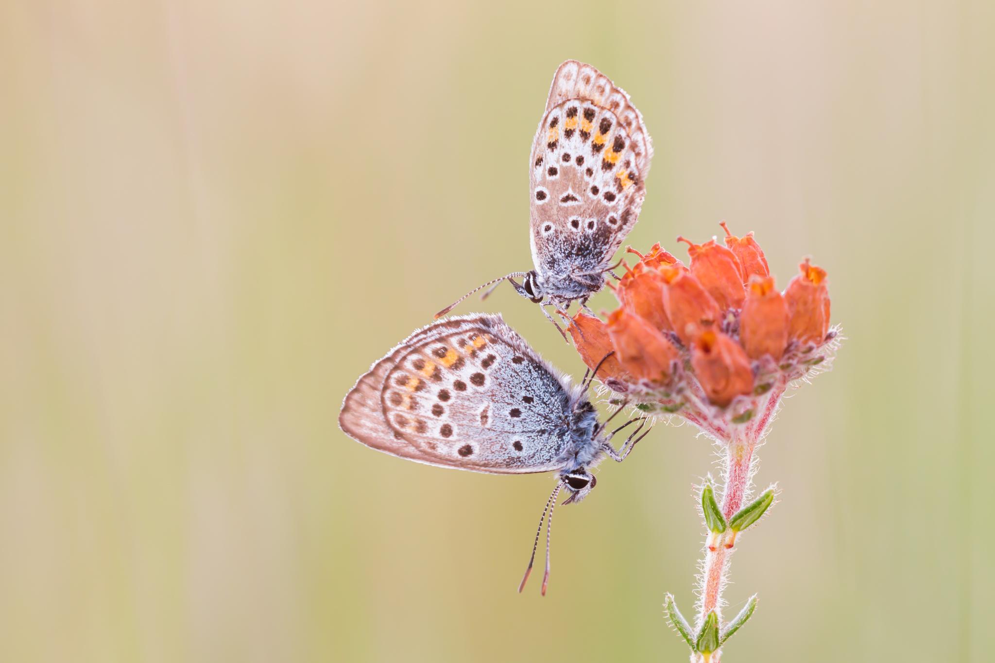 Heideblauwtje, Blauwtje, Heide, Vlinder, Vlinders, Butterflies, Butterfly, Vlinders fotograferen, Vlinderfotografie, Insect, Insecten, Deknatel, Leo Deknatel, Deknatelfotografie