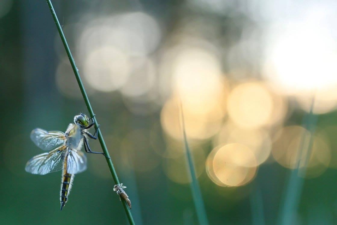 Jef Turelickx, Nieuw leven, Libel, Libelle, Libellen, Insect, Insecten, Macro, Macrofotografie, Natuur, Natuurfotografie, Fotografie, Fotowedstrijd, Foto van de maand