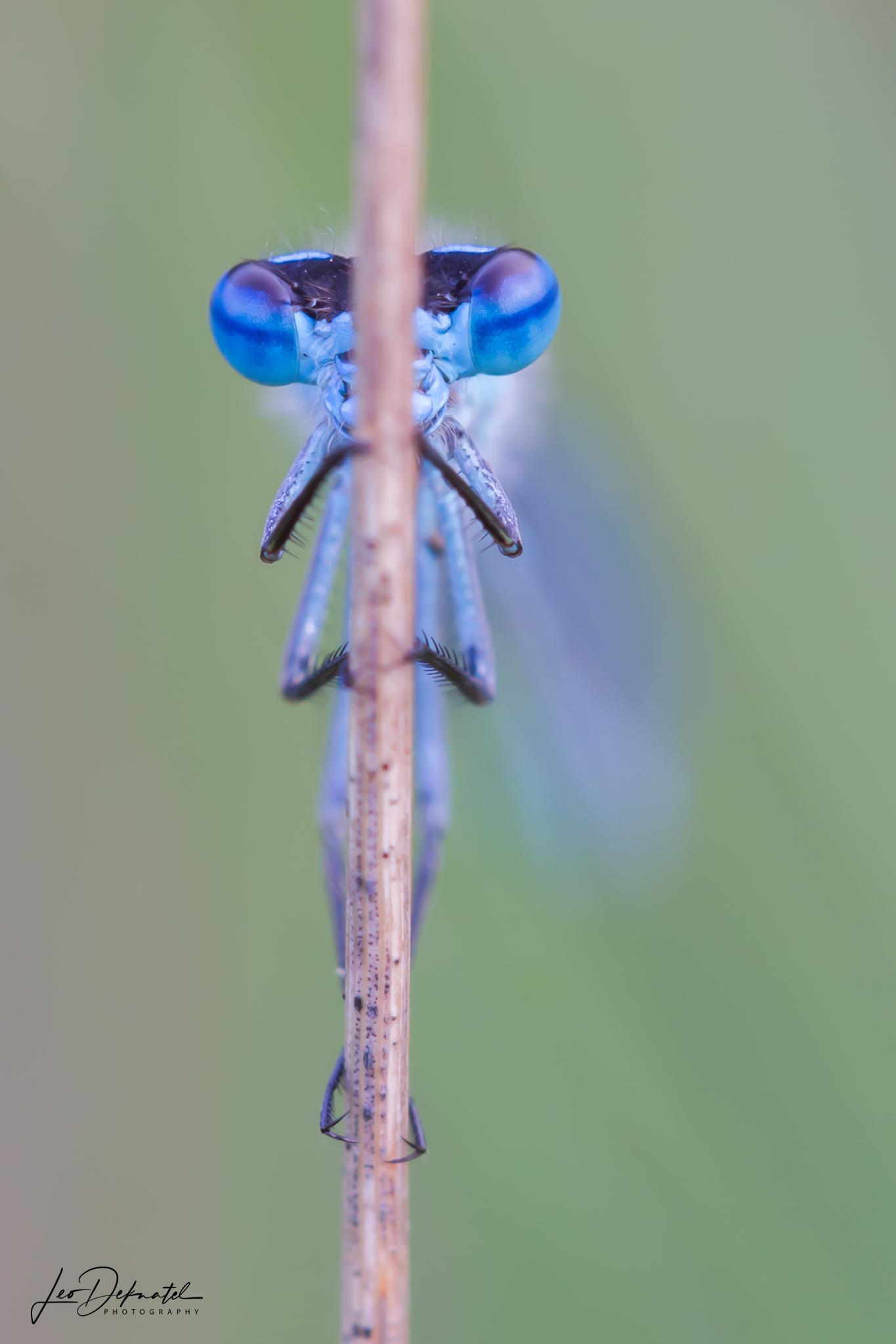 Juffer,Libel, Libelle, Libellen, Macro, Macrofotografie, Fotografie, Natuurfotografie, Juffers, Blauwtje, Blauw