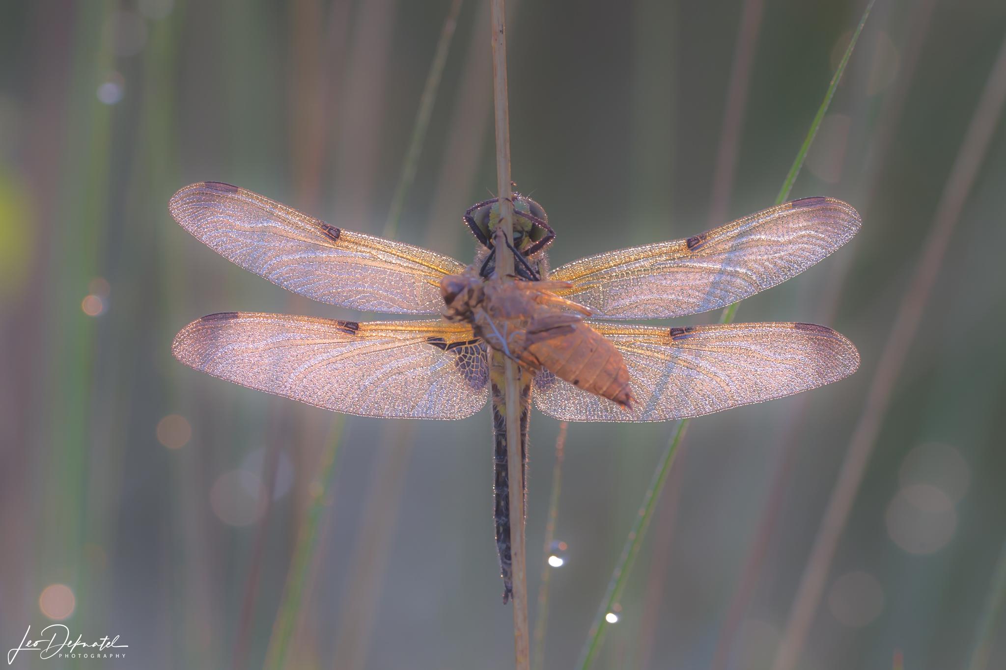 Viervlek met larvehuidje, Libel, Libelle, Libellen, Macro, Macrofotografie, Viervlek, Fotografie, Natuurfotografie, Tegenlicht