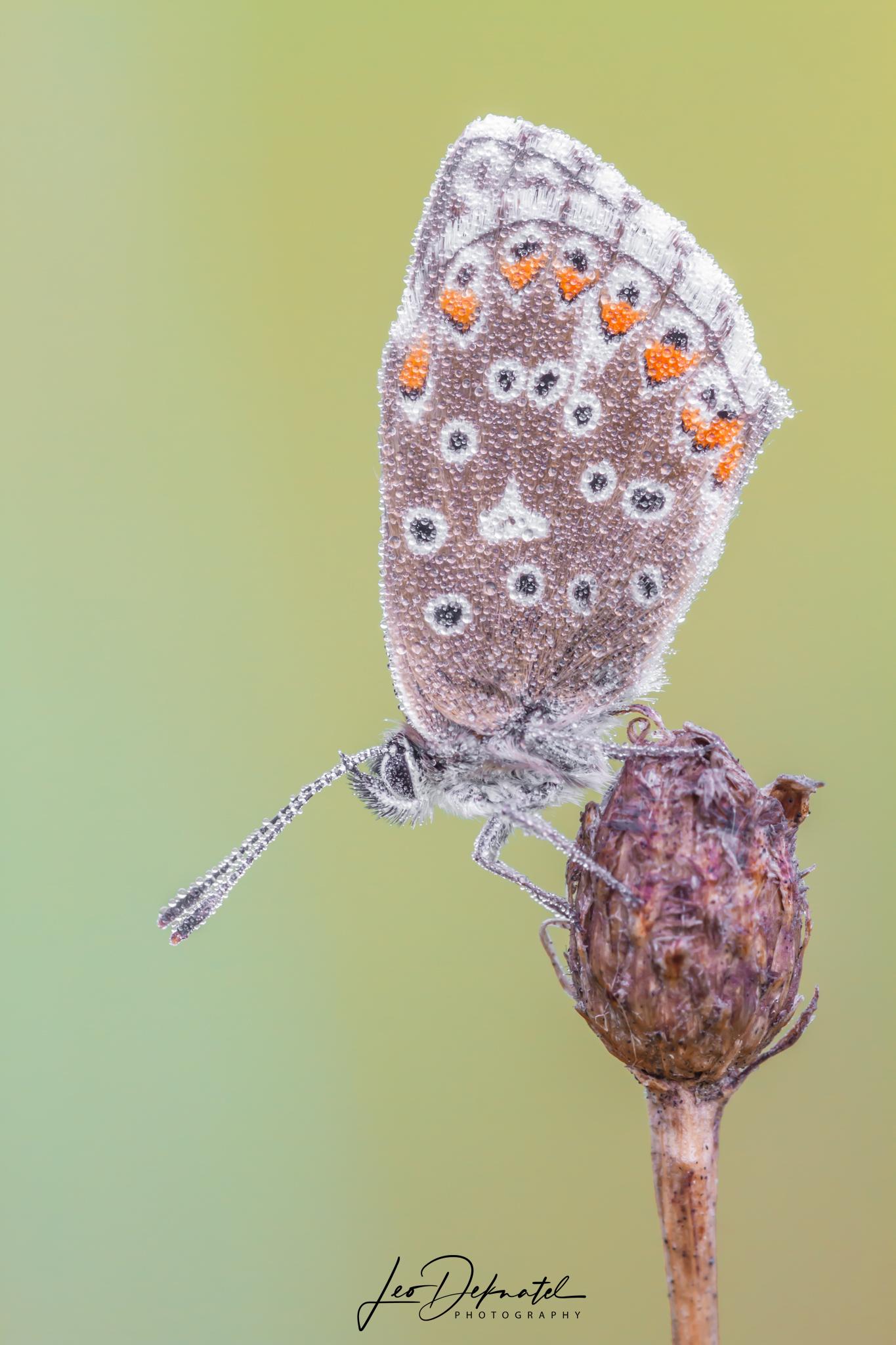 Adonisblauwtje, Blauwtje, Vlinder, Vlinders, Macro, Macrofotografie, Natuur, Natuurfotografie, Insect, Insecten,