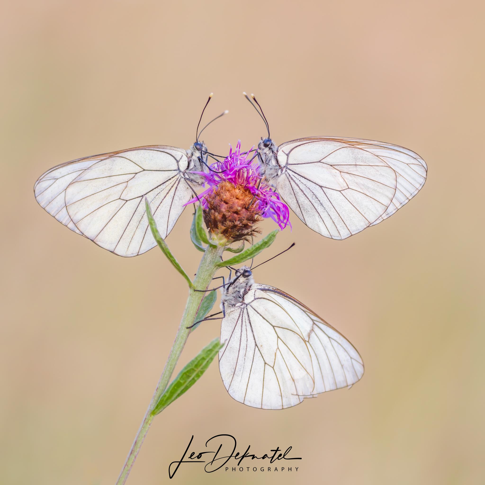Groot geaderd witje, Witje, Vlinder, Vlinders, Macro, Macrofotografie, Natuur, Natuurfotografie