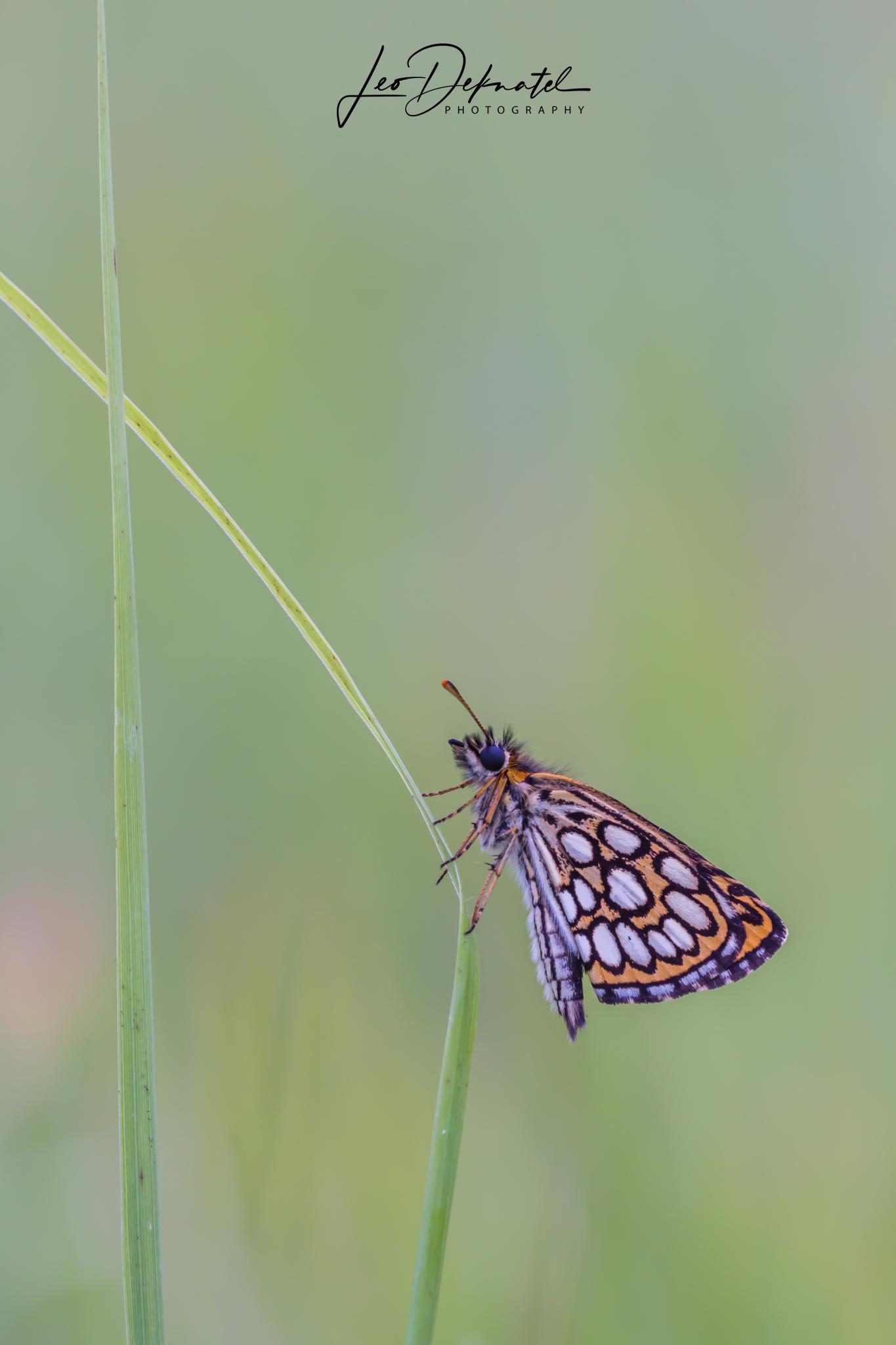 Spiegeldikkopje, Dikkopje, Vlinder, Vlinders, Macro, Macrofotografie, Natuur, Natuurfotografie