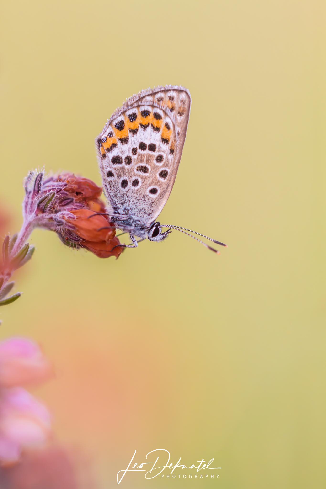 Heideblauwtje, Blauwtje, Vlinder, Vlinders, Macro, Macrofotografie, Natuur, Natuurfotografie, Fotografie