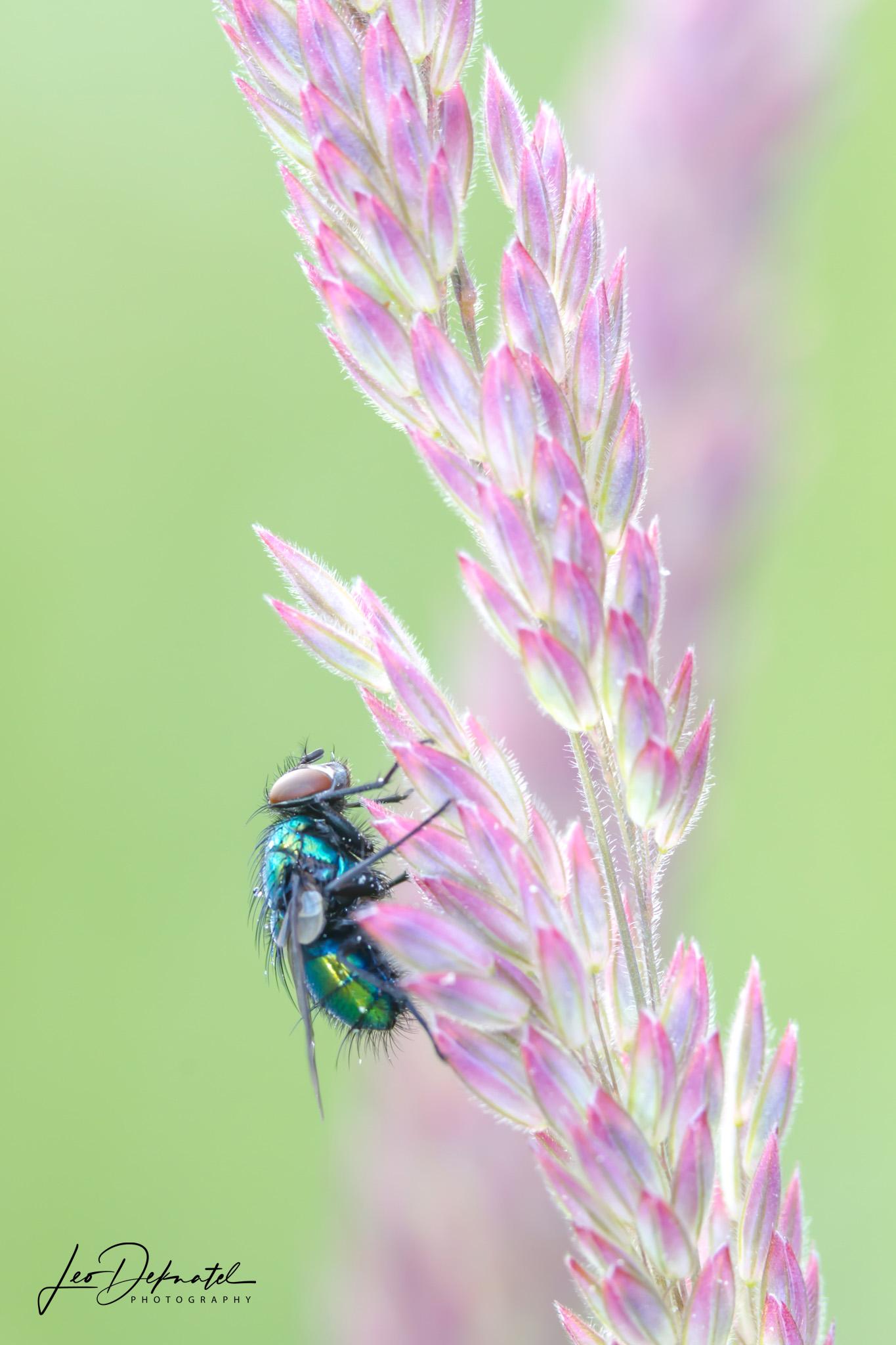 Vleesvlieg, Vlieg, Gras, Macro, Macrofotografie, Insect, Insecten, Natuur, Natuurfotografie