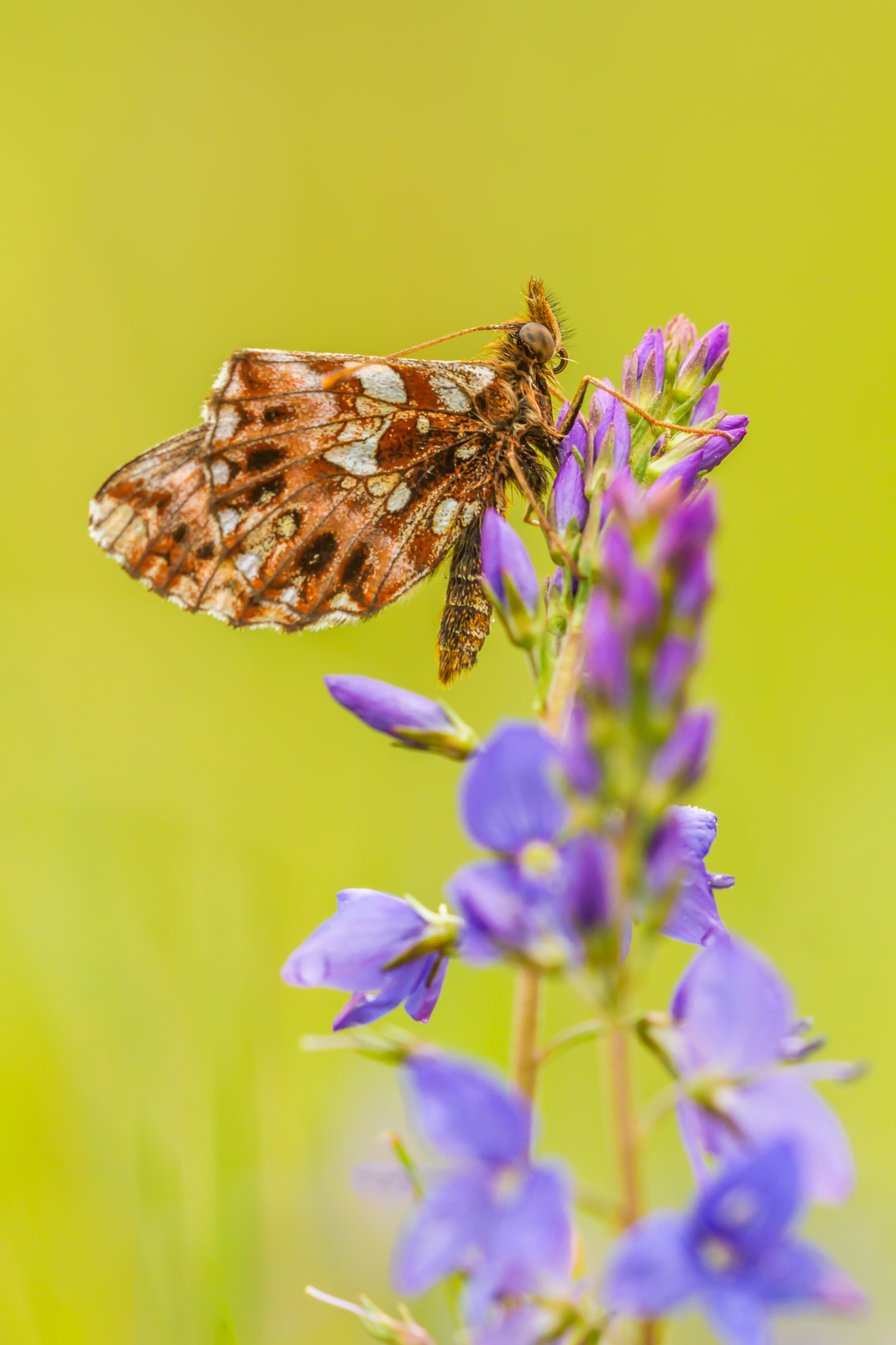 Paarse parelmoervlinder, Leo Deknatel, Vlinders fotograferen, Vlinderfotografie
