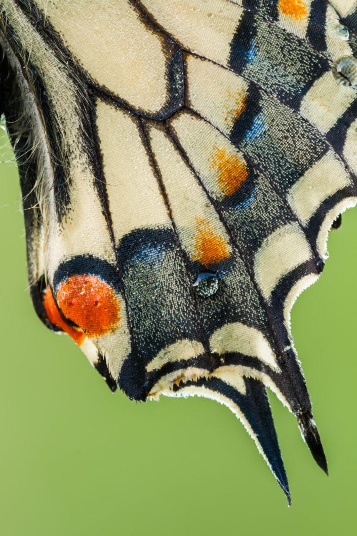 Koninginnenpage, Page, Koningin, Vlinder, Vlinders, Butterflies, Butterfly, Leo Deknatel, Deknatel, Deknatelfotografie, Vlinders fotograferen, Vlinderfotografie, Natuurfotografie, Insect, Insecten, Natuur,