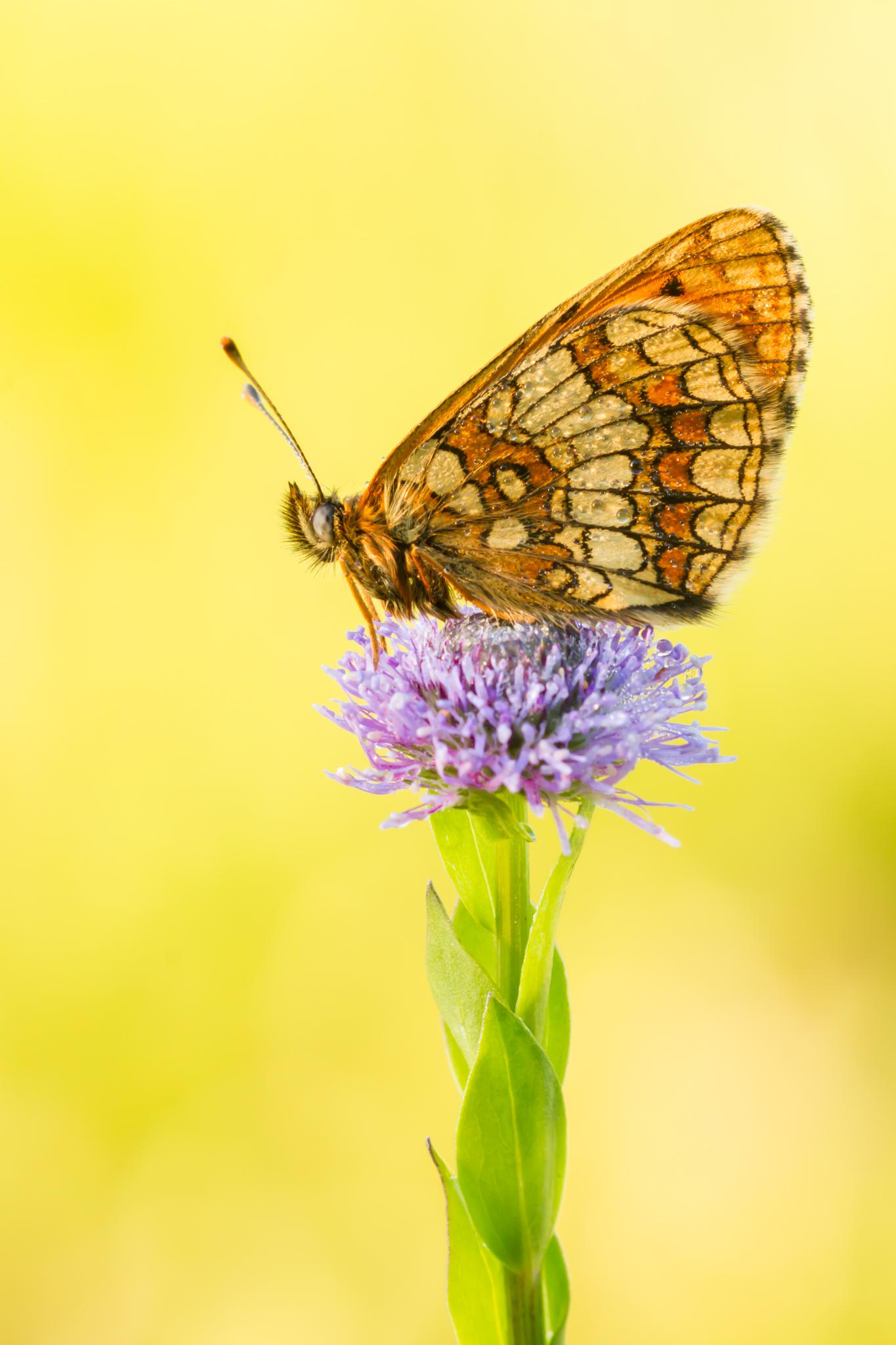 Bosparelmoervlinder, Viroinval, Vlinders in de Viroinval, Nismes, Vlinder, Vlinders