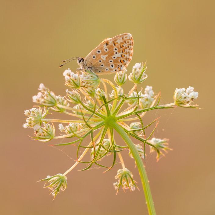 Bleek Blauwtje, Vlinders, Vlinder, Workshop, Workshop vlinders