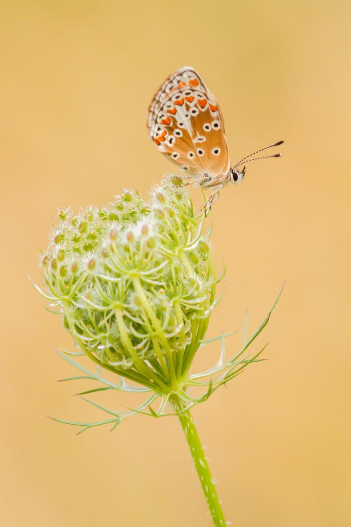 Bruin blauwtje, Blauwtje, Vlinder, Vlinders, Butterfly, Butterflies, Insect, Insecten, Deknatel, Leo Deknatel, Deknatelfotografie, Vlinderfotografie, Vlinders fotograferen, Macro, Macrofotografie