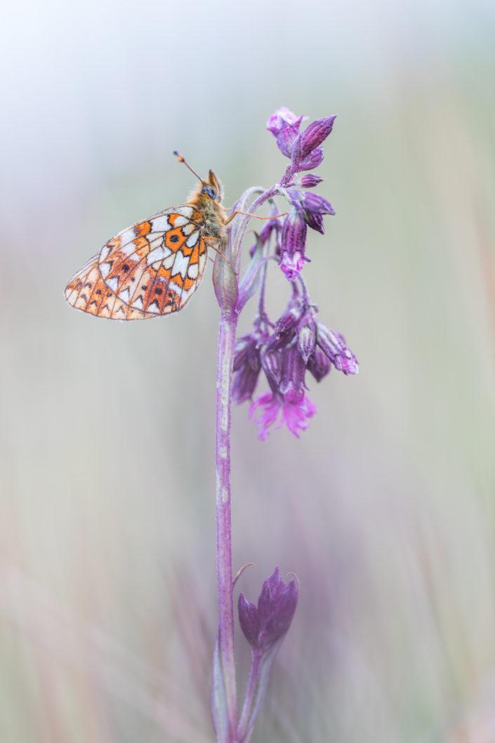 Zilveren maan, workkshop vlinders fotograferen juni 2021