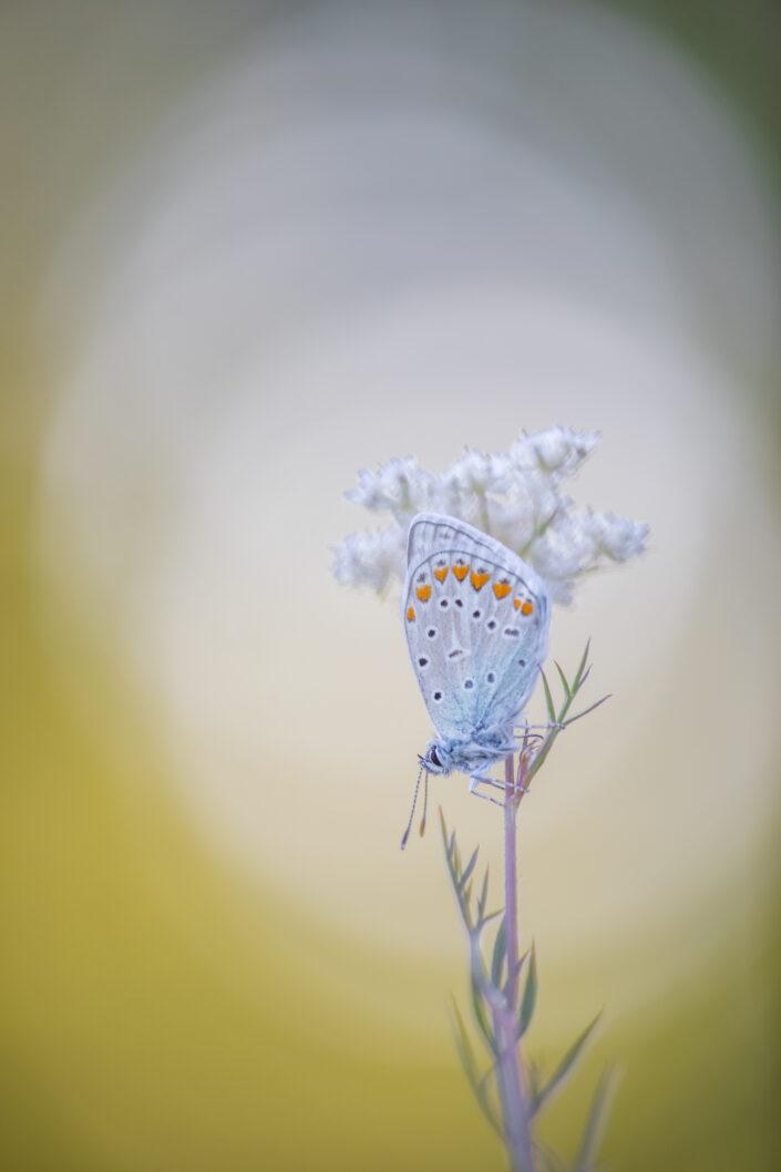 Icarusblauwtje, vlinders in de viroinval, workshop vlinders, workkshop vlinders fotograferen juni 2021