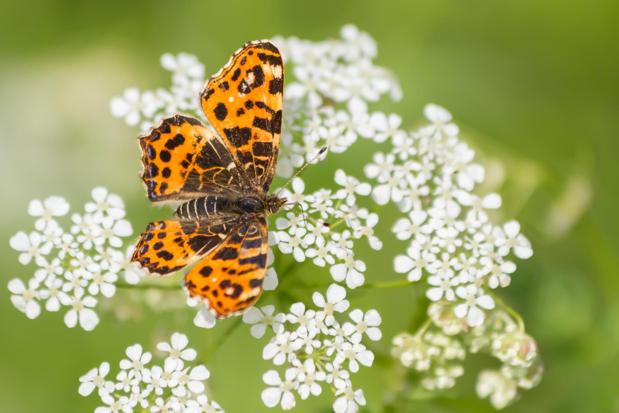 Landkaartje, Vlinder, Vlinders, Dagvlinders, Insecten, Insect, Dagvlinder